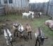 Фотография в Домашние животные Другие животные Продам молодых козочек и козлят, рождены в Новосибирске 4000
