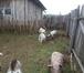 Фото в Домашние животные Другие животные Продам молодых козочек и козлят, рождены в Новосибирске 4000