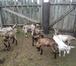 Foto в Домашние животные Другие животные Продам молодых козочек и козлят, рождены в Новосибирске 4000