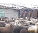 Foto в   Продам баранов курдючные.   Продаю быков в Новосибирске 0