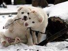 Свежее фотографию  Среднеазиатская овчарка (алабай) -щенки чистых туркменских кровей, 32445592 в Москве