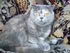 Фото в   Шотландская фолд. 7 лет. Нужен котик страйт в Обнинске 0