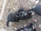 Фото в Собаки и щенки Продажа собак, щенков Продам щенков немецкой овчарки, Окрас: Черный. в Одессе 5400