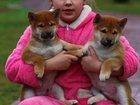 Скачать бесплатно фотографию Другие животные Щенки Сиба (шиба) ину, 33792914 в Омске