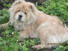 Фотография в Собаки и щенки Вязка собак Ищу для вязки трехлетней девочки чау-чау в Омске 0