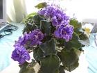 Фотография в Домашние животные Растения 1. Blue Dragon - махровые, сине-фиолетовые в Омске 50