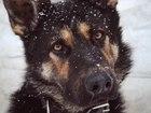Новое фото  Кобель немецкой овчарки для вязки 57331802 в Омске
