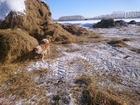 Фотки и картинки Западно-сибирская лайка смотреть в Омске