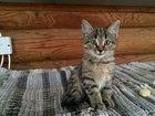Foto в Отдам даром - Приму в дар Отдам даром Отдам котенка мальчика. 2, 5 месяца. Окрас в Орехово-Зуево 0