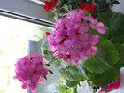 Свежее изображение Растения комнатные цветущие растения 33888169 в Орехово-Зуево