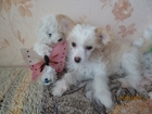 Фотки и картинки Китайская хохлатая собака смотреть в Орехово-Зуево