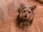 Фотография в Собаки и щенки Вязка собак Замечательный самец йоркширского терьера, в Орле 0