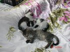 Изображение в Отдам даром - Приму в дар Отдам даром Три забавных котика, родились 15. 02. 2015. в Оренбурге 0