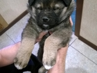 Скачать изображение Продажа собак, щенков отдам даром в добрые руки щенка 35081769 в Казани