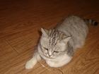 Просмотреть изображение Вязка Кошечка британка молоденькая 1,2мес 37259077 в Оренбурге