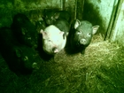 Скачать изображение Другие животные Вьетнамские свиньи 6 месяцев 38343512 в Оренбурге
