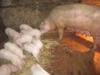 Изображение в Домашние животные Другие животные Продам поросят. 2 месяца. Подробная информация в Озерске 0