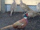 Фотография в Хобби и увлечения Охота Продаются- подсадная утка Кряква и фазан в Пензе 0
