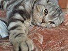 Фото в Кошки и котята Вязка Предлагаю для вязки шикарного кота породы в Пензе 15000