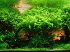 Фотография в Рыбки (Аквариумистика) Растения Продам Продам аквариумные растения:  1. Валлиснерия в Пензе 10