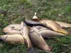 Фото в Прочее,  разное Разное Продажа живой рыбы оптом (карп, карась, толстолоб, в Пензе 120
