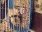 Новое фото  Продается морская свинка с клеткой и поилкой, 33785855 в Пензе