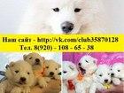 Изображение в Собаки и щенки Продажа собак, щенков Щеночки самоеда. Хороший выбор. очень красивые в Пензе 0
