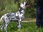 Изображение в Собаки и щенки Продажа собак, щенков Щенки далматина от выездной вязки, дети Интерчемпиона, в Пензе 15000