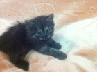Фото в Кошки и котята Продажа кошек и котят Отдам котят в добрые руки от домашней кошки в Пензе 0