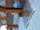 Скачать бесплатно фото Вязка собак кобель немецкой овчарки ищет подругу для вязки 37974463 в Пензе