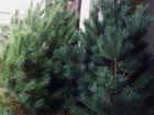 Скачать бесплатно foto  Новогодние сосны оптом от производителя 40732478 в Кузнецке