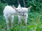 Скачать бесплатно фото Другие животные Пяти месячные симпатичные козлята 66553023 в Пензе