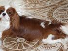 Смотреть foto Вязка собак Предлагаем для вязки кобеля породы Кавалер Кинг Чарлиз Спаниель 67700300 в Пензе