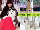 Изображение в Собаки и щенки Продажа собак, щенков Щенки сибирской хаски продаются недорого в Переславле-Залесском 8000