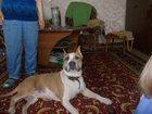 Фото в Собаки и щенки Вязка собак Кобель 3 года. в Перми 0