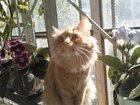Фото в Кошки и котята Вязка Кошке 2 года . Ищем пару для вязки породы в Перми 0
