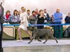 Изображение в Собаки и щенки Вязка собак Кобель возраст 2, 5 года, окрас серо-тигровый, в Перми 40000