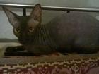 Изображение в Кошки и котята Продажа кошек и котят Продам сфинкса девочку. 6 месяцев, черный в Перми 5000