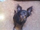 Скачать изображение Вязка собак ищу невесту 38462173 в Перми