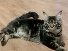 Новое фото Вязка кошек Мейн кун ищет кошку для вязки! 39999551 в Перми