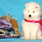 Продам щенков самоедской собаки