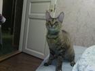 Фото в Кошки и котята Вязка Ищем кота для вязки породы Донской сфинкс в Петрозаводске 0