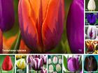 Изображение в   Предлагаем тюльпаны срезка, выращенные в в Питере 30