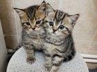 Шотландские котятки окрас Табби
