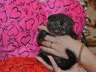 Фото в Кошки и котята Продажа кошек и котят Замечательные шотландские вислоухие котятки в Подольске 8000
