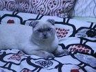 Фотография в Кошки и котята Вязка голубоглазый красавец с родословной, 2 х в Приозерске 1000