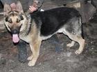Новое изображение Вязка собак Вязка Немецкой Овчарки 37407326 в Прокопьевске