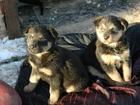 Изображение в Собаки и щенки Продажа собак, щенков Отдам замечательных малышей в добрые и заботливые в Протвино 0