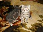 Изображение в Кошки и котята Продажа кошек и котят Продается британская кошечка. Пушистый ласковый в Пскове 1500