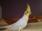 Смотреть фотографию Птички корелла 35818165 в Пскове